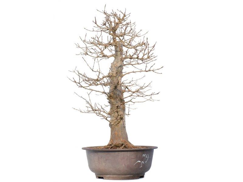 Acer buergerianum, 60 cm, ± 20 jaar oud, met een nebari van 23 cm