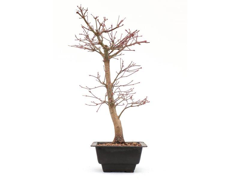 Acer palmatum Katsura, 40,5 cm, ± 8 jaar oud