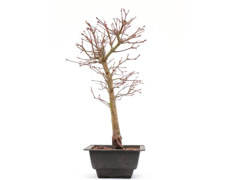 Acer palmatum Katsura, 37 cm, ± 8 jaar oud