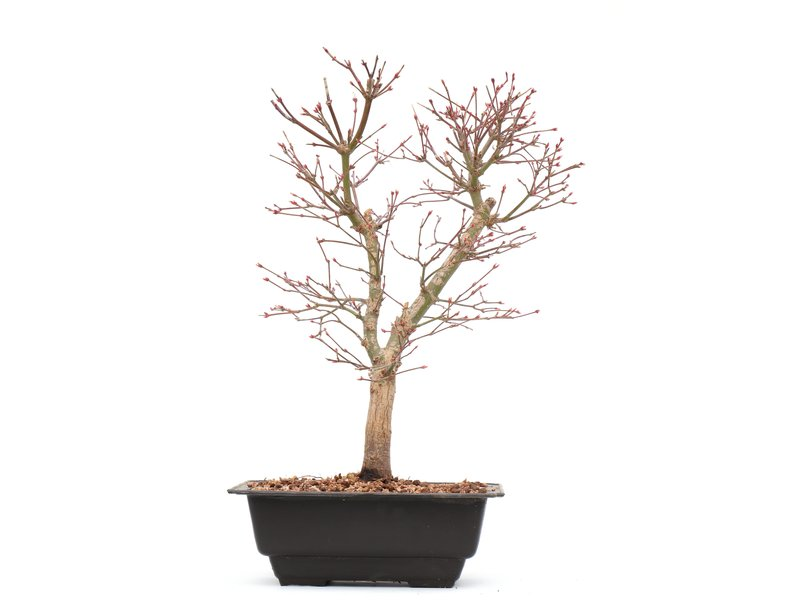 Acer palmatum Katsura, 35 cm, ± 8 jaar oud