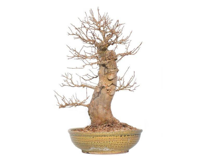 Acer buergerianum, 50 cm, ± 25 jaar oud