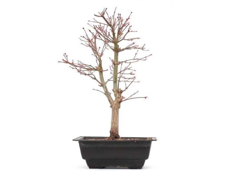Acer palmatum Katsura, 33,5 cm, ± 8 jaar oud