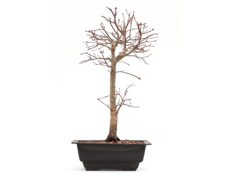 Acer palmatum Katsura, 27 cm, ± 8 jaar oud