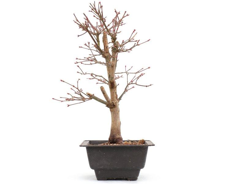 Acer palmatum Katsura, 29,5 cm, ± 8 jaar oud