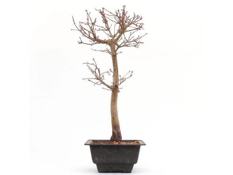 Acer palmatum Katsura, 36,5 cm, ± 8 jaar oud