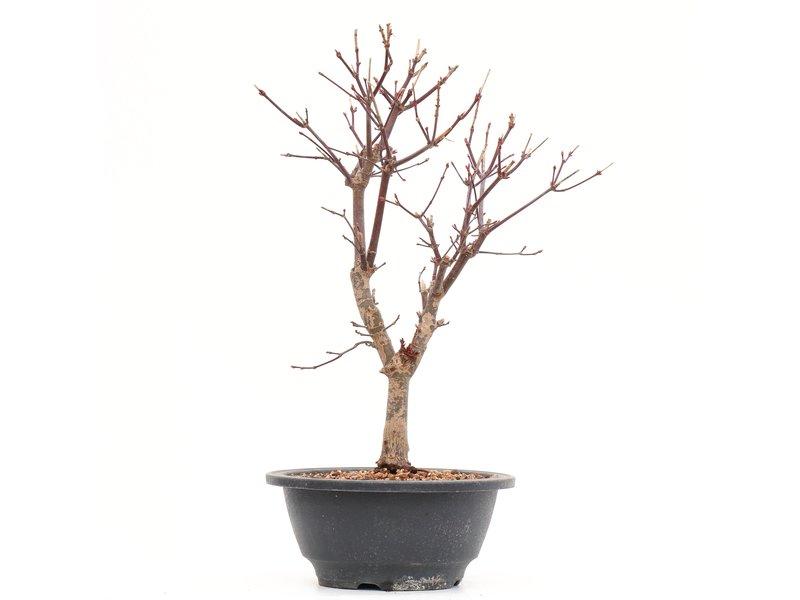 Acer palmatum Deshojo, 28,5 cm, ± 8 jaar oud