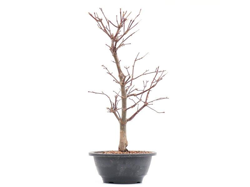Acer palmatum Deshojo, 43 cm, ± 8 jaar oud