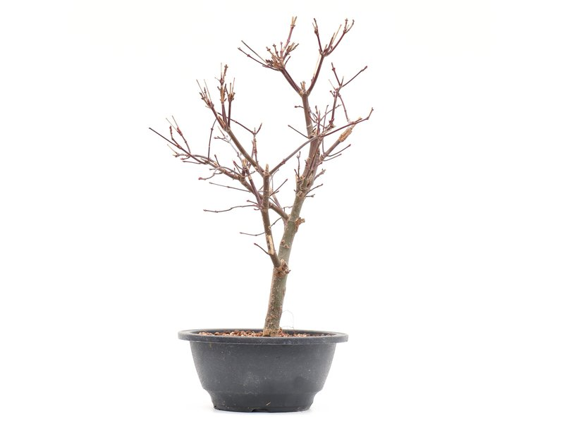Acer palmatum Deshojo, 30,5 cm, ± 8 jaar oud