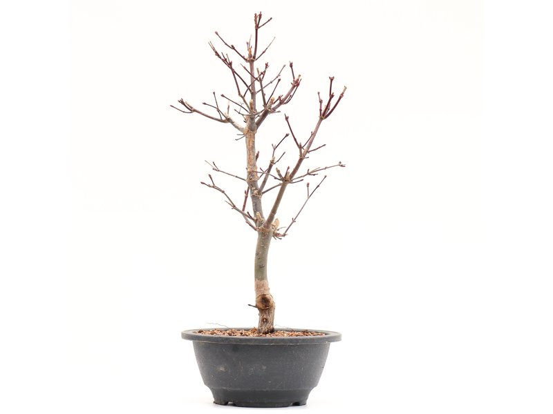 Acer palmatum Deshojo, 31,5 cm, ± 8 jaar oud