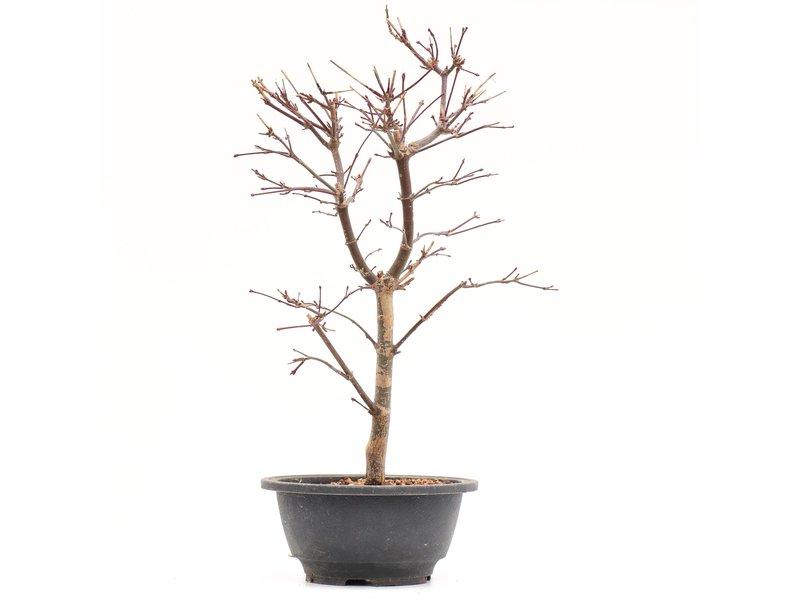 Acer palmatum Deshojo, 34,5 cm, ± 8 jaar oud