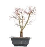 Acer palmatum Katsura, 34,5 cm, ± 10 jaar oud