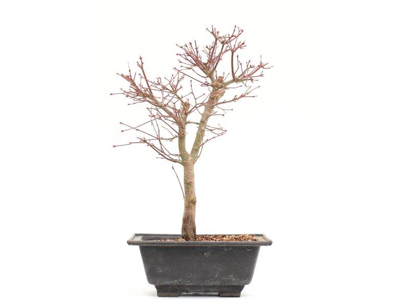 Acer palmatum Katsura, 37 cm, ± 10 jaar oud