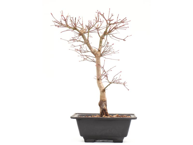 Acer palmatum Katsura, 39,5 cm, ± 10 jaar oud