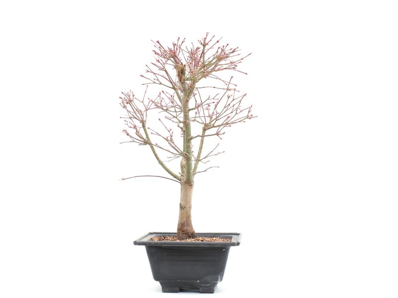 Acer palmatum Katsura, 38,5 cm, ± 10 jaar oud