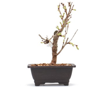 Prunus incisa Kojou No Mai, 15,7 cm, ± 6 jaar oud