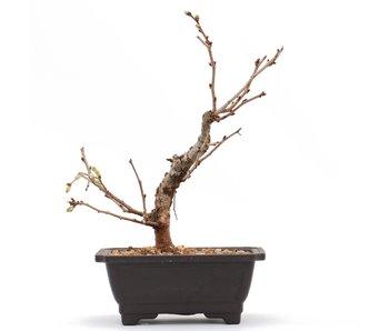 Prunus incisa Kojou No Mai, 17 cm, ± 6 años