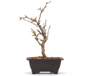Prunus incisa Kojou No Mai, 18 cm, ± 6 jaar oud
