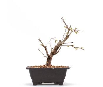 Prunus incisa Kojou No Mai, 14 cm, ± 6 jaar oud