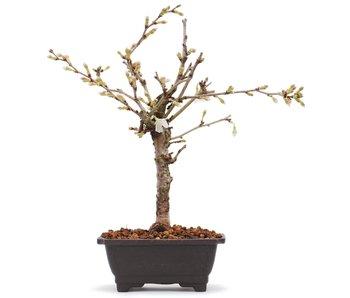 Prunus incisa Kojou No Mai, 20,5 cm, ± 6 jaar oud