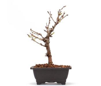 Prunus incisa Kojou No Mai, 17,5 cm, ± 6 jaar oud