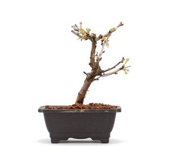 Prunus incisa Kojou No Mai, 12 cm, ± 6 jaar oud