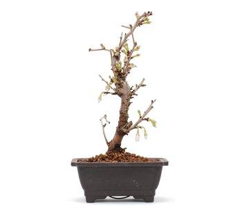 Prunus incisa Kojou No Mai, 18,5 cm, ± 6 jaar oud