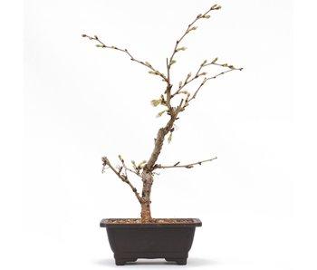 Prunus incisa Kojou No Mai, 24 cm, ± 6 jaar oud