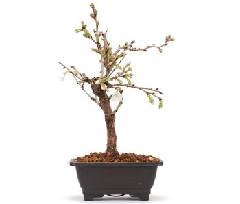 Prunus incisa Kojou No Mai, 20 cm, ± 6 jaar oud