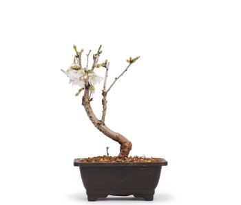 Prunus incisa Kojou No Mai, 14,5 cm, ± 6 años