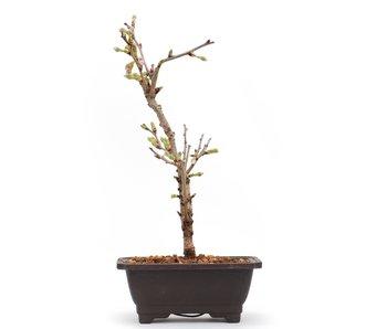 Prunus incisa Kojou No Mai, 20,9 cm, ± 6 jaar oud