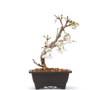 Prunus incisa Kojou No Mai, 15,5 cm, ± 6 años