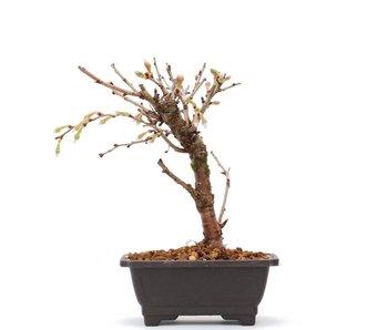 Prunus incisa Kojou No Mai, 14,5 cm, ± 6 jaar oud