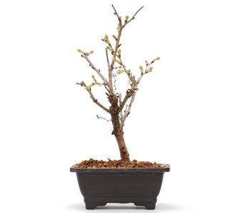 Prunus incisa Kojou No Mai, 19 cm, ± 6 jaar oud