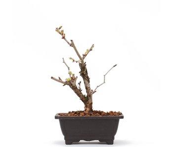 Prunus incisa Kojou No Mai, 15 cm, ± 6 jaar oud