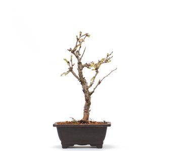 Prunus incisa Kojou No Mai, 19,5 cm, ± 6 jaar oud