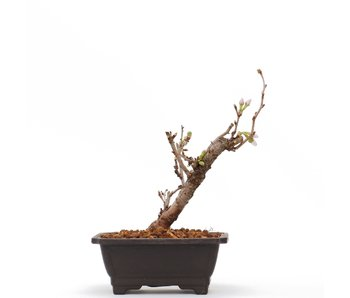Prunus incisa Kojou No Mai, 15,5 cm, ± 6 jaar oud