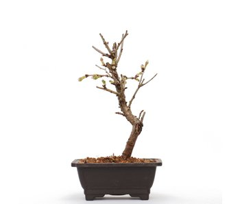Prunus incisa Kojou No Mai, 17 cm, ± 6 jaar oud