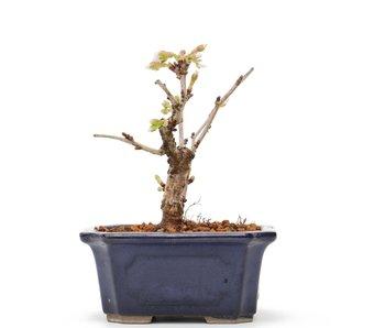 Prunus incisa Kojou No Mai, 10 cm, ± 6 jaar oud
