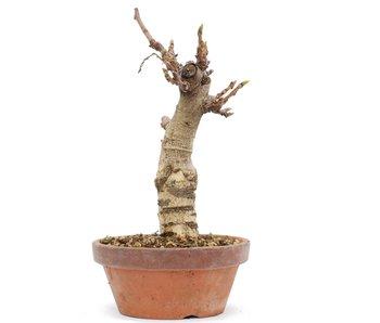 Wisteria Floribunda, 23 cm, ± 8 jaar oud