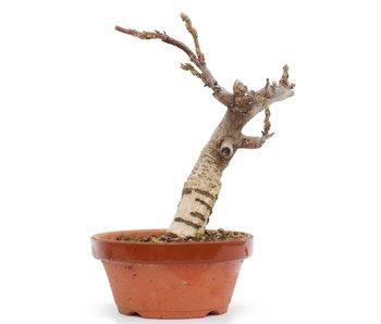 Wisteria Floribunda, 22 cm, ± 8 jaar oud