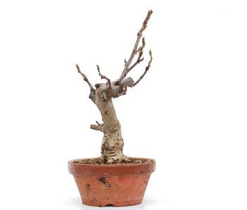 Wisteria Floribunda, 27 cm, ± 8 jaar oud