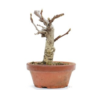 Wisteria Floribunda, 17,5 cm, ± 8 jaar oud