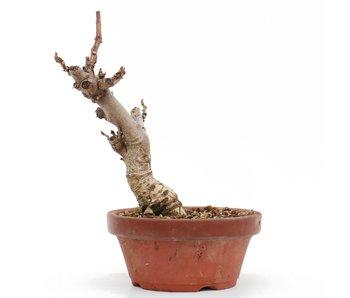 Wisteria Floribunda, 20,5 cm, ± 8 jaar oud