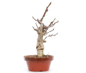 Wisteria Floribunda, 27,5 cm, ± 8 jaar oud