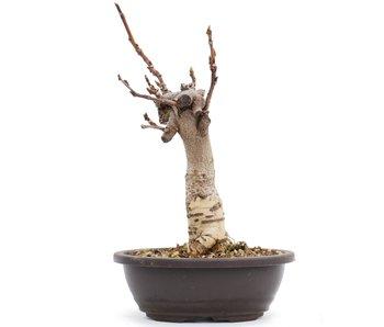 Wisteria Floribunda, 25,5 cm, ± 8 jaar oud