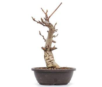 Wisteria Floribunda, 28 cm, ± 8 jaar oud