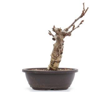 Wisteria Floribunda, 24 cm, ± 8 jaar oud