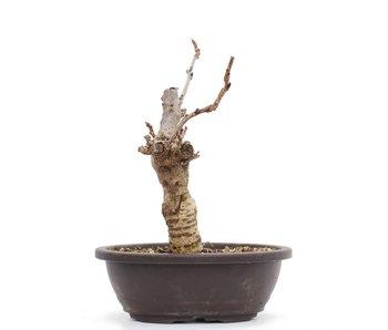Wisteria Floribunda, 20 cm, ± 8 jaar oud