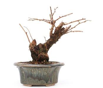 Stephanandra incisa Crispa, 15,5 cm, ± 12 jaar oud