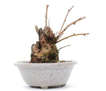 Stephanandra incisa Crispa, 10,5 cm, ± 12 jaar oud